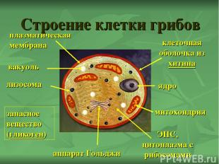 Строение клетки грибов ядро митохондрия аппарат Гольджи ЭПС, цитоплазма с рибосо