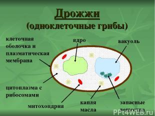 Дрожжи (одноклеточные грибы) ядро капля масла цитоплазма с рибосомами вакуоль кл