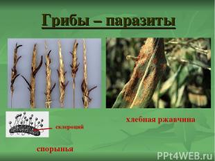 Грибы – паразиты спорынья хлебная ржавчина склероций