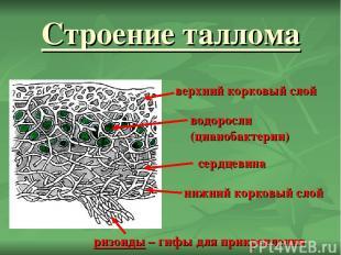 Строение таллома верхний корковый слой нижний корковый слой сердцевина водоросли