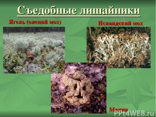 Съедобные лишайники Манна Ягель (олений мох) Исландский мох
