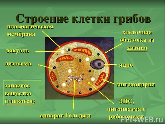 Строение клетки грибов ядро митохондрия аппарат Гольджи ЭПС, цитоплазма с рибосомами вакуоль клеточная оболочка из хитина запасное вещество (гликоген) лизосома плазматическая мембрана