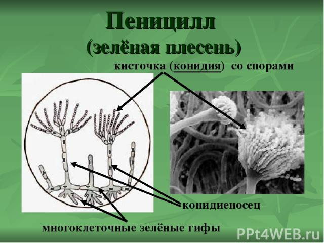 Пеницилл (зелёная плесень) кисточка (конидия) со спорами конидиеносец многоклеточные зелёные гифы