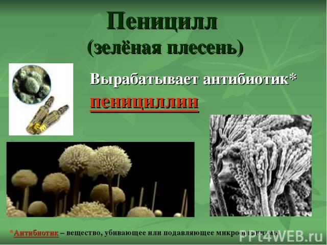Пеницилл (зелёная плесень) Вырабатывает антибиотик* пенициллин *Антибиотик – вещество, убивающее или подавляющее микроорганизмы