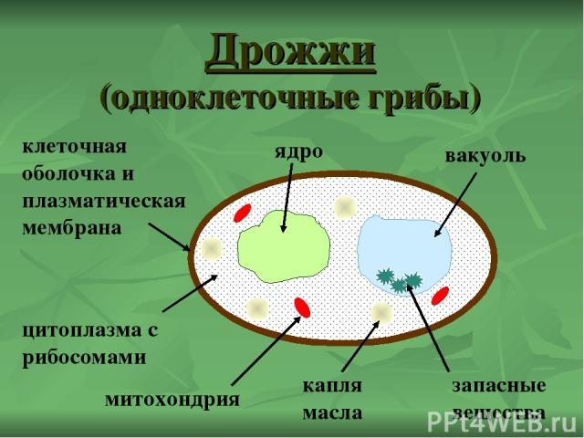 Дрожжи (одноклеточные грибы) ядро капля масла цитоплазма с рибосомами вакуоль клеточная оболочка и плазматическая мембрана запасные вещества митохондрия