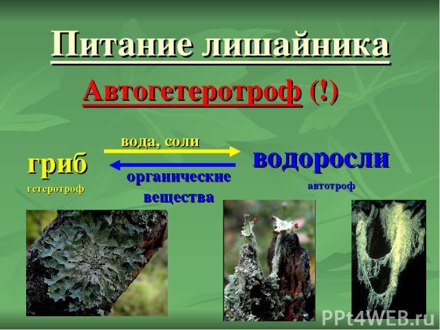 Питание лишайника Автогетеротроф (!) гриб водоросли вода, соли органические вещества гетеротроф автотроф