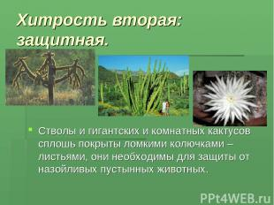 Хитрость вторая: защитная. Стволы и гигантских и комнатных кактусов сплошь покры