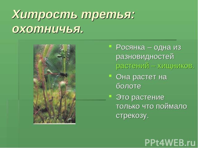 Хитрость третья: охотничья. Росянка – одна из разновидностей растений – хищников. Она растет на болоте Это растение только что поймало стрекозу.