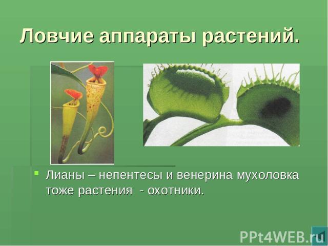 Ловчие аппараты растений. Лианы – непентесы и венерина мухоловка тоже растения - охотники.