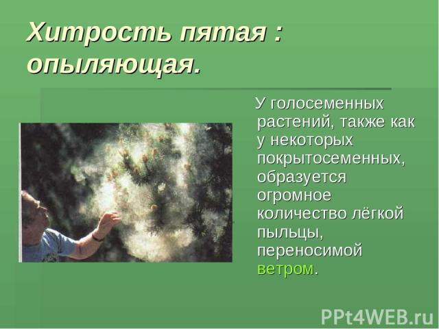 Хитрость пятая : опыляющая. У голосеменных растений, также как у некоторых покрытосеменных, образуется огромное количество лёгкой пыльцы, переносимой ветром.