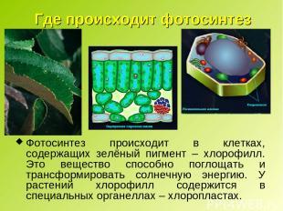 Где происходит фотосинтез Фотосинтез происходит в клетках, содержащих зелёный пи
