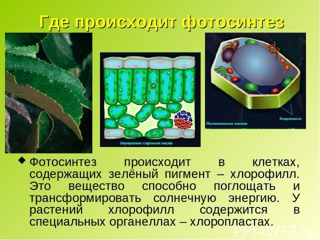 Где происходит фотосинтез Фотосинтез происходит в клетках, содержащих зелёный пигмент – хлорофилл. Это вещество способно поглощать и трансформировать солнечную энергию. У растений хлорофилл содержится в специальных органеллах – хлоропластах.