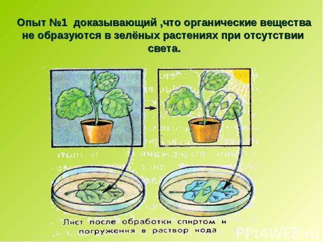 Опыт №1 доказывающий ,что органические вещества не образуются в зелёных растениях при отсутствии света.