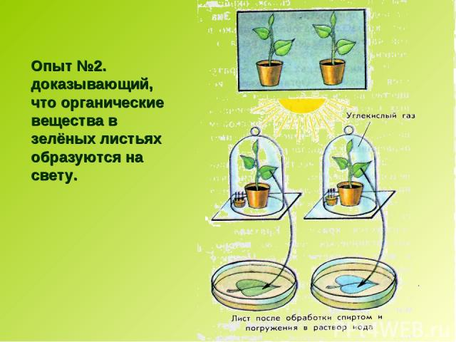 Опыт №2. доказывающий, что органические вещества в зелёных листьях образуются на свету.