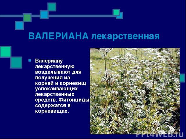 ВАЛЕРИАНА лекарственная Валериану лекарственную возделывают для получения из корней и корневищ успокаивающих лекарственных средств. Фитонциды содержатся в корневищах.