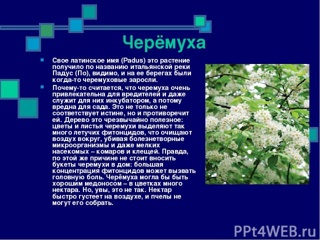 Черёмуха Свое латинское имя (Padus) это растение получило по названию итальянской реки Падус (По), видимо, и на ее берегах были когда-то черемуховые заросли. Почему-то считается, что черемуха очень привлекательна для вредителей и даже служит для них…