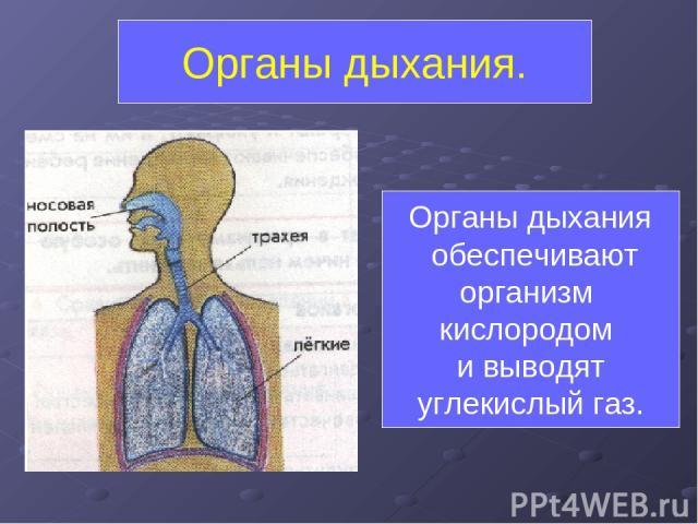 Органы дыхания. Органы дыхания обеспечивают организм кислородом и выводят углекислый газ.