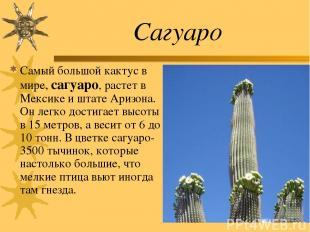 Сагуаро Самый большой кактус в мире, сагуаро, растет в Мексике и штате Аризона.