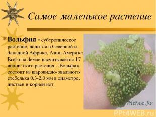 Самое маленькое растение Вольфия - субтропическое растение, водится в Северной и