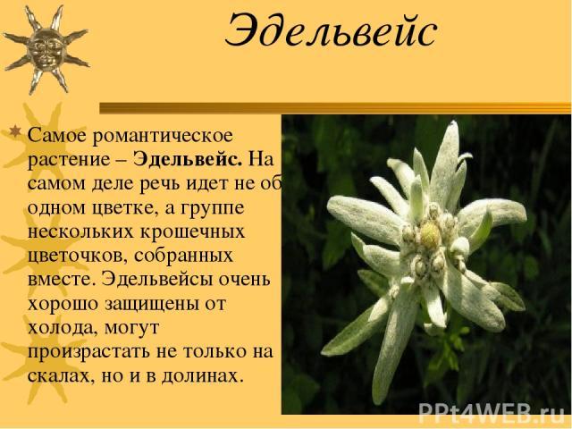 Эдельвейс Самое романтическое растение – Эдельвейс. На самом деле речь идет не об одном цветке, а группе нескольких крошечных цветочков, собранных вместе. Эдельвейсы очень хорошо защищены от холода, могут произрастать не только на скалах, но и в долинах.
