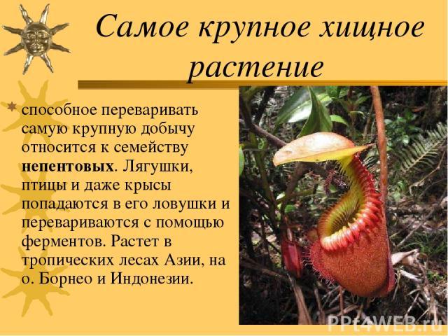Самое крупное хищное растение способное переваривать самую крупную добычу относится к семейству непентовых. Лягушки, птицы и даже крысы попадаются в его ловушки и перевариваются с помощью ферментов. Растет в тропических лесах Азии, на о. Борнео и Ин…