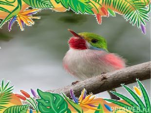 Самая прожорливая птица -  кубинский тоди. за световой день, продолжающийся 14