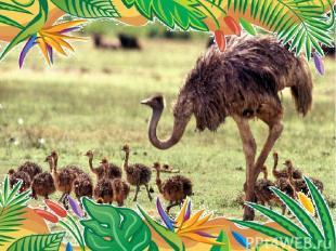 Самая крупная современная птица африканский страус веса 75 кг. высоты 2, 74 м.