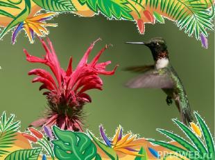 Самая маленькая птица- колибри-пчёлка. весят 1,6 г, длина равна 5,7 см. птичка