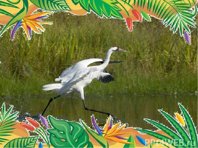 Самые малочисленные птицы – американский журавль. Численность - 300 птиц