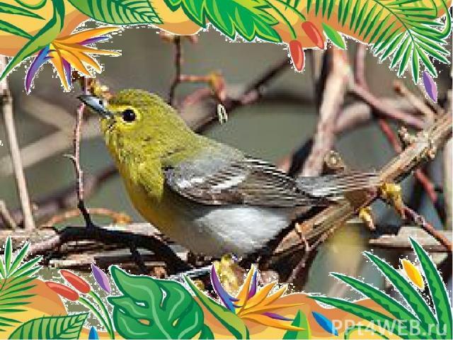 Самый неутомимый певец- красноглазый виреон. В 1952 года зарегистрирован случай, когда за 10 часов птица спела 22 197 раз.
