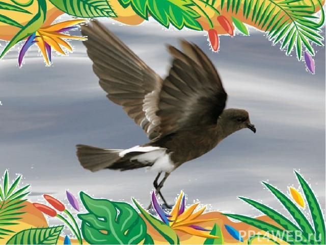 Самый многочисленный вид – качурки Вильсона.  Это небольшая, размером с ласточку птица, длина ее тела 15-19 см, размах ее крыльев - 40 см. Другое ее название – океанник Вильсона. Численность – 1млн.