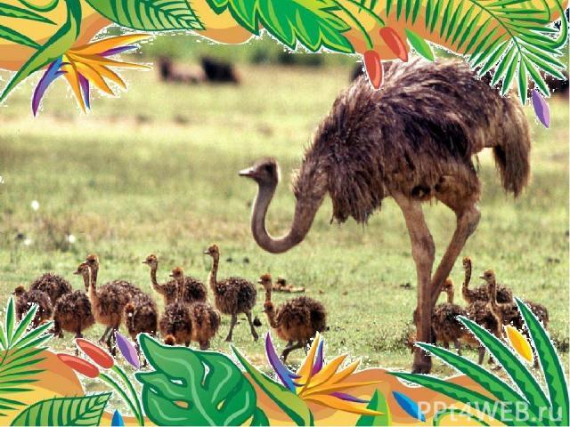 Самая крупная современная птица африканский страус веса 75 кг. высоты 2, 74 м. голова и шея у него длиной 1, 4 м в средней страусы этого вида достигают в высоту порядка 2 метров. развивать скорость до 72 км/ч. он же самый быстрый бегун Он же обла…
