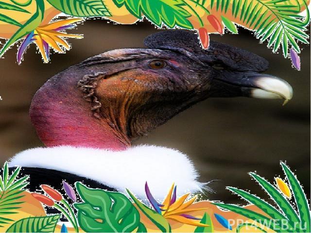 Самая крупнаяптица – андский кондор Самцыв среднем весят 9-12 кг при размахе крыльев 3 м и более (до 5 м). могут даже с высоты в 7.000 м разглядеть на земле тело павшего животного.