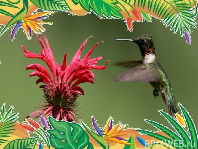Самая маленькая птица- колибри-пчёлка. весят 1,6 г, длина равна 5,7 см. птичка длиной 10 см пролетает путь с Аляски в Мексику и обратно - 10 000 км.