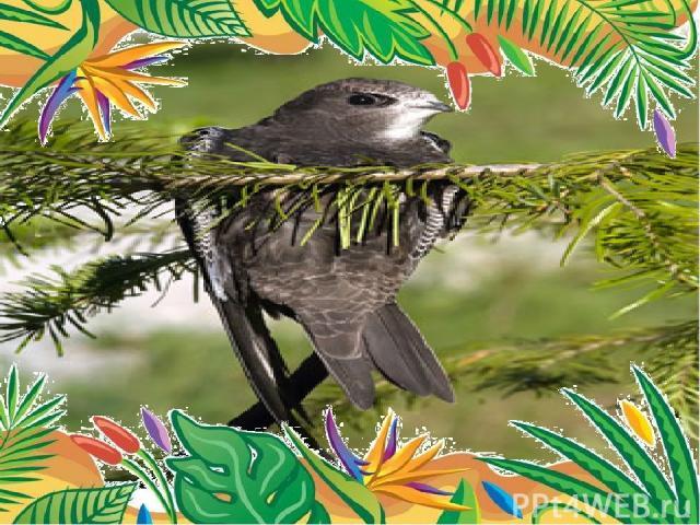 Самая летающая птица- чёрный стриж длина тела 18-21 см, размах крыльев 38-42 см, масса 30-45 г. находиться в воздухе 2-4 года в течение всего этого времени он спит, пьет, ест на лету. пролетает 500000 км прежде, чем впервые приземлиться.