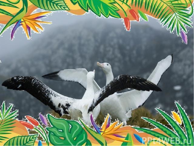 Самый большой размах крыльев – у странствующего альбатроса.  размах крыльев 3,63 м.