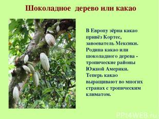 Шоколадное дерево или какао В Европу зёрна какао привёз Кортес, завоеватель Мекс