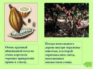 Плоды шоколадного дерева внутри окружены мякотью, в которой спрятаны пять гнёзд,