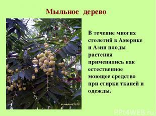 Мыльное дерево В течение многих столетий в Америке и Азии плоды растения применя