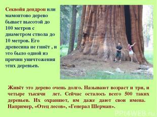 Секвойя дендрон или мамонтово дерево бывает высотой до 100 метров с диаметром ст