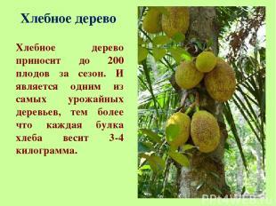 Хлебное дерево Хлебное дерево приносит до 200 плодов за сезон. И является одним