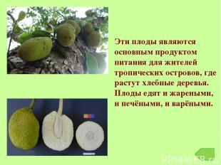 Эти плоды являются основным продуктом питания для жителей тропических островов,