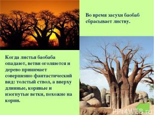 Когда листья баобаба опадают, ветви оголяются и дерево принимает совершенно фант