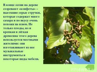В конце осени на дереве созревают «конфеты» – высохшие серые стручки, которые со