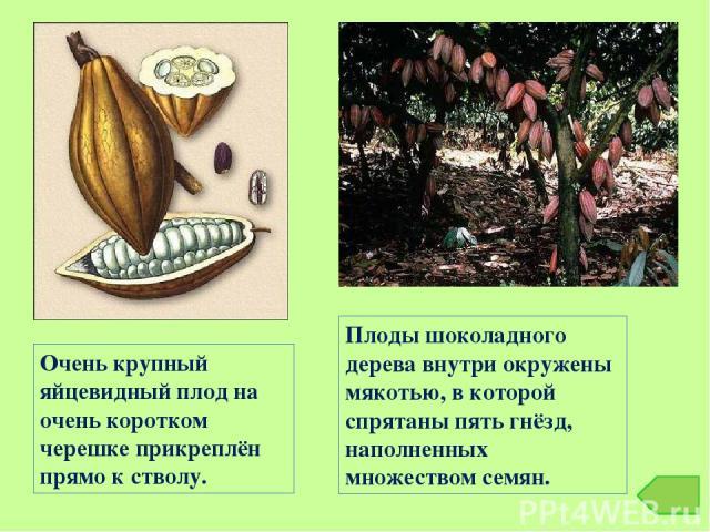 Плоды шоколадного дерева внутри окружены мякотью, в которой спрятаны пять гнёзд, наполненных множеством семян. Очень крупный яйцевидный плод на очень коротком черешке прикреплён прямо к стволу.