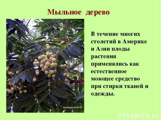 Мыльное дерево В течение многих столетий в Америке и Азии плоды растения применялись как естественное моющее средство при стирки тканей и одежды.