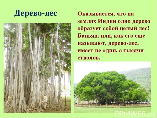Дерево-лес Оказывается, что на землях Индии одно дерево образует собой целый лес! Баньян, или, как его еще называют, дерево-лес, имеет не один, а тысячи стволов.