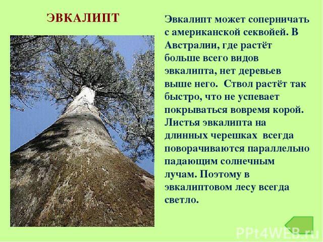 ЭВКАЛИПТ Эвкалипт может соперничать с американской секвойей. В Австралии, где растёт больше всего видов эвкалипта, нет деревьев выше него. Ствол растёт так быстро, что не успевает покрываться вовремя корой. Листья эвкалипта на длинных черешках всегд…
