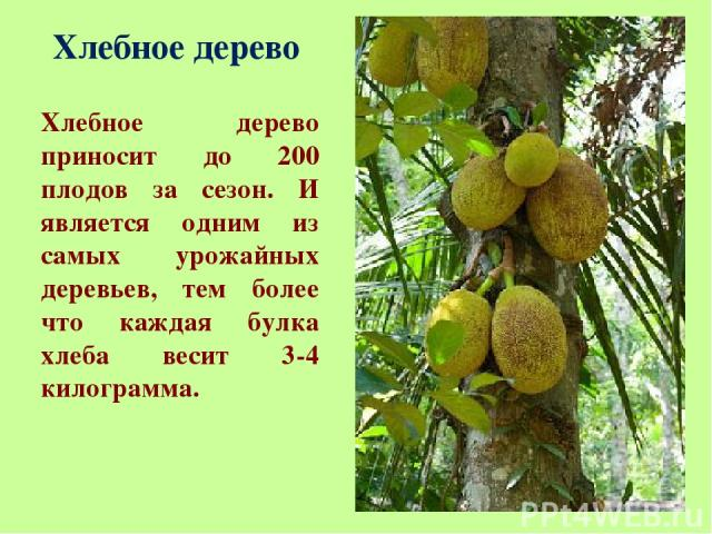 Хлебное дерево Хлебное дерево приносит до 200 плодов за сезон. И является одним из самых урожайных деревьев, тем более что каждая булка хлеба весит 3-4 килограмма.