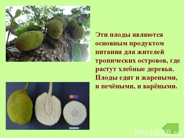Эти плоды являются основным продуктом питания для жителей тропических островов, где растут хлебные деревья. Плоды едят и жареными, и печёными, и варёными.